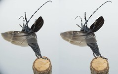 Anoplophora malasiaca (Mushimizu) Tags: stereo 3d cross ゴマダラカミキリ anoplophoramalasiaca beetle longicornbeetle