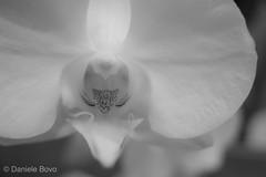 OrchiDea (ilBovo) Tags: macro panasonic lumixlx100 blackandwhite ilbovo flower