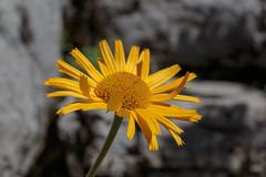 Bain de Soleil (Yo Gui) Tags: fleur jaune soleil rocher naye suisse vaud macro brillant