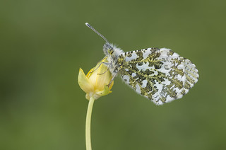 Orange-tip (Anthocharis cardamines).