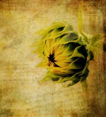 Prelude (maureen bracewell) Tags: texture photoshop digitalpaper flower sunflower nature maureenbracewell cannon digitalart closeup plant text