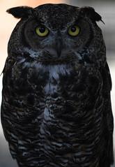 My......What Big Eyes You Have! (Anthony Mark Images) Tags: birds birdsofprey owl greathornedowl animals sitka alaska usa 49thstate nikon d850 sundaylights