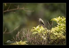Resident Anna's Hummingbird (the_coprolite) Tags: annashummingbird coquitlam bc britishcolumbiacanada nikon d750 sigma 150600mm