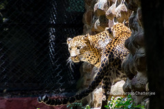 leopard (Soumyaroop) Tags: zoo animals national park leopard bengaluru karnataka
