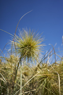 Spinifex #1