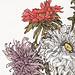 Chrysanthemums by Julie de Graag (1877-1924). Original from the Rijks Museum. Digitally enhanced by rawpixel.