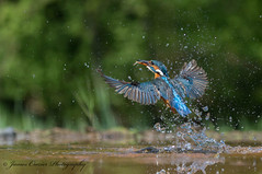 Diving Kingfisher (Jim Crozier) Tags: kingfisher diving fish canoneos1dx canon100400mm