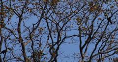 Toucan (tim ellis) Tags: amazon holiday rionegro iracema bird toucan whitethroatedtoucan ramphastostucanus manaus brazil