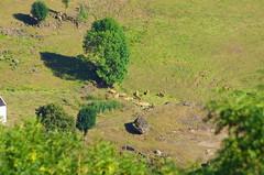 60 - Auvergne Salers, le paysage alentour (paspog) Tags: salers auvergne france paysage landscape août august 2018 landschaft vaches cows kühe