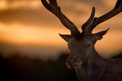 'Sunday of Summer' (Jonathan Casey) Tags: sunset red deer stag wollaton nottingham nikon 200mm f2 vr d850