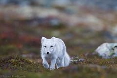 Fjellrev - Arctic fox-2.jpg (Robert Fredagsvik - Norway) Tags: norway dovre fjellrev arcticfox fox animals mountainanimals dyrnorge animalsnorway tierenorwegen norge norwegen norwegiannature canon beautifulrealm