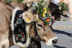 Alpabzug (K M V) Tags: alpabzug alpabfahrt cow kuh lehmä ko kossa vache vaca decoratedcow cowwithflowers flims tradition perinne procession kulkue alpineculture switzerland schweiz suisse svizzera sveitsi