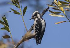 Downy Woodpecker (158) (Jerry Ting) Tags: coyotehillsregionalpark fremont california ebparksok downywoodpecker female 2018bigyear