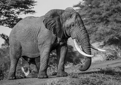 KRA_0785 (143latorre) Tags: 2018 africa birds buffalo calvinnightshoot cheetah crocadile elephant giraffe hippopotamus leopard lions rhinoceros stars warthogs wilddogs zebra
