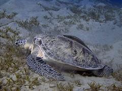 P1-008832 (charlesvanlangeveld) Tags: cheloniamydas greenturtle marsaalam redsea egypt sea underwater indopacific scuba diving snorkling turtle soepschilpad schilpad zeeschilpad