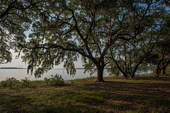 Live Oaks - Naval Support Activity - Panama City - Florida - 11 May 2017 (goatlockerguns) Tags: live oaks naval support activity panama city florida usa unitedstatesofamerica south southern southeast nature natural navy bay trees tree forest woods