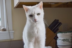 Charlie (rootcrop54) Tags: charlie white allwhite oddeyes oddeyed heterochromia male gorgeous boy neko macska kedi 猫 kočka kissa γάτα köttur kucing gatto 고양이 kaķis katė katt katze katzen kot кошка mačka gatos maček kitteh chat ネコ