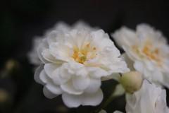 Guirlande D'Amour      Foca Oplex  1:3.5  f=3.5cm (情事針寸II) Tags: マクロ撮影 自然 花 薔薇園 薔薇 macro nature fleur flower colomacastle rosegarden rose kasteelcoloma focaoplex135f35cm