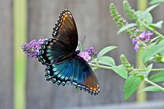 Red-spotted Purple Butterfly (2nd of 2 views) (deanrr) Tags: redspottedpurple macro butterfly leaf plant flower butterflyonflower butterflybush morgancountyalabama alabama nature outdoor