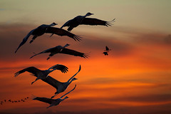 Crane Song (valentina425) Tags: morning sunrise cranes birds colorado wildlife sunset sky monte vista