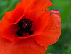 you're still beautifully red! (Rosmarie Voegtli) Tags: poppy fromarthursseattotheparliamant green red ethics scotland edinburgh scottishparliamant