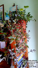 Tradescantia zebrina & T. fluminensis on top of bookcase in living room 21st August 2018 (D@viD_2.011) Tags: tradescantia zebrina t fluminensis top bookcase living room 21st august 2018
