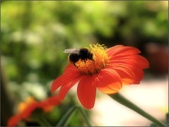 (Tölgyesi Kata) Tags: botanikuskert botanicalgarden füvészkert budapest withcanonpowershota620 mexikóinapvirág pompástitónia tithoniarotundifolia mexicansunflower