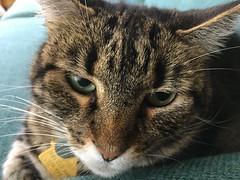 Tigger's Post-Breakfast Nap (sjrankin) Tags: 20august2018 edited animal cat tigger closeup couch livingroom kitahiroshima hokkaido japan