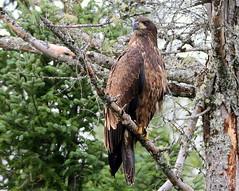 Pygargue (Marie-Helene Levesque) Tags: oiseau oiseaudeproie abitibi valdor eastsullivan east pygargue mariehélène mariehelene