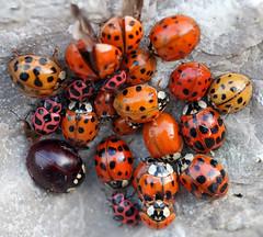 Ladybug Party (TomIrwinDigital) Tags: ladybug ladybird beetle bug insect group hippodamia spots pinkspotted