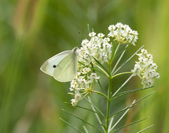 The Waning Days of Summer (dshoning) Tags: butterfly white iowa