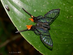 Chorinea octauius (LPJC) Tags: lakesoledad arcc peru lpjc butterfly metalmark 2017 chorineaoctauius