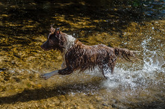 Kyra correndo no rio (mcvmjr1971) Tags: parque estadual da serra do papagaio lado de baependi minas gerais brasil nikon d7000 border collie dog cachorro fun river rio play brincando água water 2018