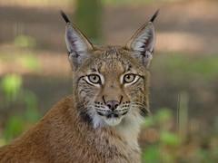 -BASK6555- (Baspherical) Tags: luchs animal bigcat lynx tierpark anholt nature tier