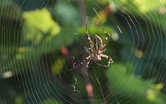 Argiope frelon - IMG_6118 (6franc6) Tags: araignée insecte occitanie languedoc gard 30 milhaud juillet 2018 6franc6 vélo kalkoff vae
