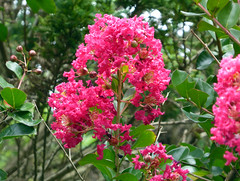 Lagerstroemia indica L. 1759 cv. 'Perigord Purple' (LYTHRACEAE) (helicongus) Tags: