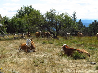cow pasture in the northern Black Forest