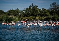 Pont de Gau : Parc Ornithologique (larecettedujour) Tags: birds naturereserve pontdegau provence aiguesmortes camargue flamingo water