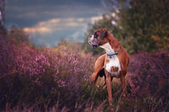 35/52 trip to heathland (Kerstin Mielke) Tags: kurt 52weeksfordogs boxerdog heather purple sundown