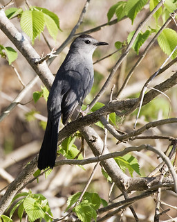 Gray Catbird - Lake Petersburg, central Illinois