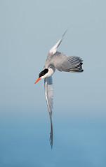 Common Tern (nikunj.m.patel) Tags: commontern tern nature bif birdinflight birds avian naturephotography nikon nikond850 outdoors migration summer beach seabird