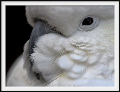 suspect no.4 (Andrew C Wallace) Tags: sulphurcrestedcockatoo bird hallsgap grampiansnationalpark victoria australia microfourthirds m43 thephotontrap olympusomdem5mk2