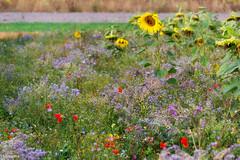 05092018-DSC_0074 (vidjanma) Tags: champ fleurs coquelicots tournesols