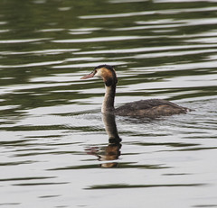 Great Crested Grebe (Mal.Durbin Photography) Tags: greatcrestedgrebe maldurbin wildlife wildlifephotography wildbirds naturephotography cosmestonlake