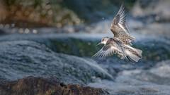 Sanderling (Calidris alba) (ER Post) Tags: bird shorebird holland michigan unitedstates us sanderlingcalidrisalba