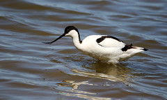 Avocet. (Chris Kilpatrick) Tags: chris canon canon7dmk2 sigma150mm600mm outdoor wildlife nature bird animal avocet salbufera mallorca spain hide water reflection