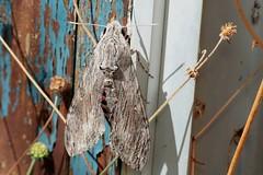 Agrius convolvuli - 03 IX 2018 (el.gritche) Tags: lepidoptera france 40 garden sphingidae agrius convolvuli agriusconvolvuli convolvulaceae
