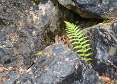 Fern, Hendre area, N/Wales, UK, 2018. (Phlips photos) Tags: naturesdetail wales fuji60mmmacrolens fern hendre green 2018 northwales fujixpro1