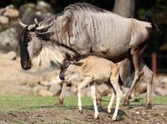 gnu Burgerszoo JN6A2666 (j.a.kok) Tags: gnu wildebeest wildebeast gnoe animal antilope africa afrika herbivore mammal zoogdier dier burgerszoo burgerzoo moederenkind motherandchild