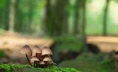 Mycena (Visual Stripes) Tags: fungus fungi mushrooms mushroom nature bokeh bokehlicious panasoniclumixg2 helios44m4 helios vintage lens